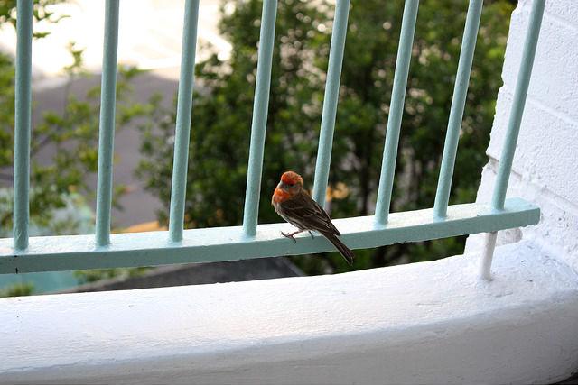 ハワイ ホテルのベランダにカラフルな鳥
