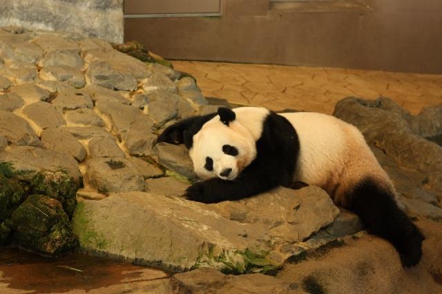 ぐったりと寝そべるアドベンチャーワールドのパンダ