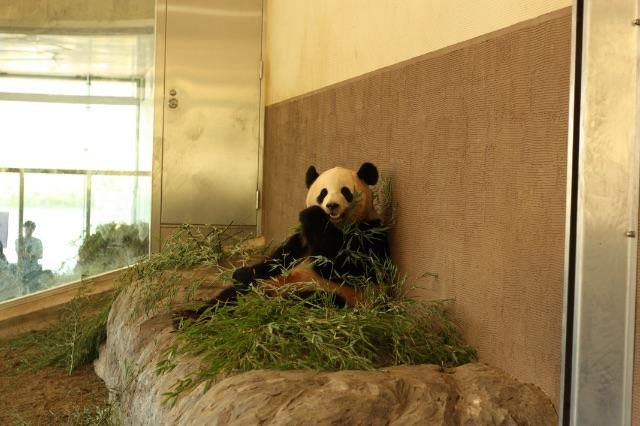 笹を食べるアドベンチャーワールドのパンダ